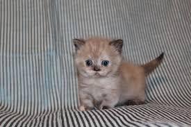 munchkin minuet kittens in hoobly classifieds