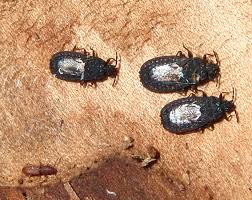 Little Black Bugs With Wings In Bedroom Flat Bugs Archives What U0027s That Bug