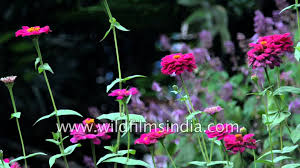 guava tree with fruit and zinnia flower in sikkim garden youtube