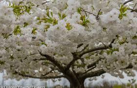 white cherry blossom white cherry blossom flowering branches 2 27 17 oregon coastal