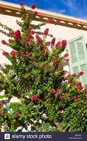 paper plant four o u0027clock bougainvillea spec climbing plant on