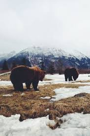 Bears Montana Hunting And Fishing - 377 best grizzly time images on pinterest grizzly bears polar