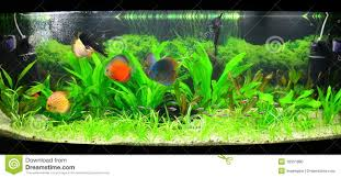 Home Aquarium by Home Aquarium With Discus Fish And Plants Royalty Free Stock Photo