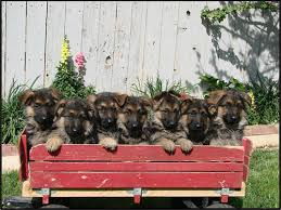 belgian shepherd for sale australia san bernardino dogs for sale and adoption san bernardino classifieds