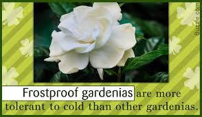 the spotless frostproof gardenia a fast growing flowering shrub