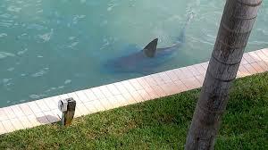 9ft bull shark spotted in florida u0027backyard u0027 youtube