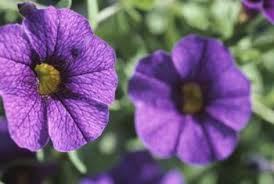 petunia flowers what causes small flowers on petunias home guides sf gate