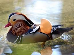 waterfowl pictures national geographic