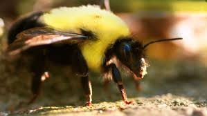 bumblebees in 4k slow motion amazing s2 e1 4k ultra hd