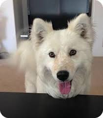 american eskimo dog winnipeg i found duncan on adoptable combo and an