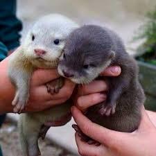 Sea Otter Meme - baby otters holy cute batman pinterest baby otters