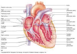 Anatomy Of Heart Valve Ch18 Valves Of The Heart