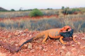 lizards and the language of colour change scientific american