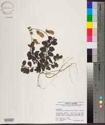 crotalaria rotundifolia species page apa alabama plant atlas