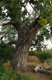 Cottonwood Tree Flowers - ancient cottonwood tree by herrhaller on deviantart