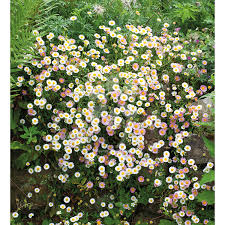 erigeron karvinskianus plants from 4 50 sarah raven