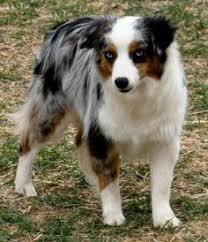 australian shepherd howling blue merle australian shepherd puppy ya gotta love aussies