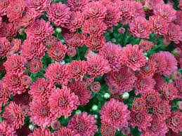Pretty Types Of Flowers - types of mums hgtv