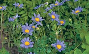 perennial daisies finegardening