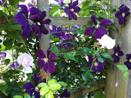 rose companions clematis u2013 the garden diary
