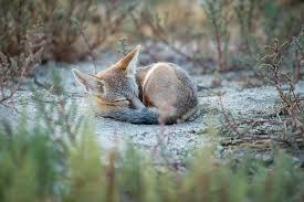 Utah wildlife images Wolves foxes coyotes dwr jpg