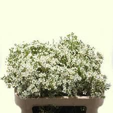 Wholesale Flowers Online Chamelaucium Ofir Http Flowersavage Com Product White