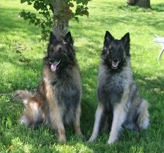 belgian sheepdog colors meet our belgian tervuren shepherds u2013 flower power vt farm