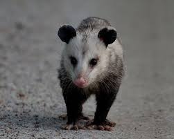Possum In My Backyard 68 Best Zarigüeya Images On Pinterest Beautiful Beautiful