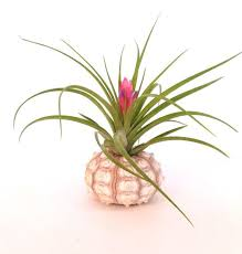 Desk Plant 47 Best Air Plants In Shells Images On Pinterest Air Plants Sea
