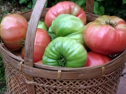 how i ripen tomatoes indoors