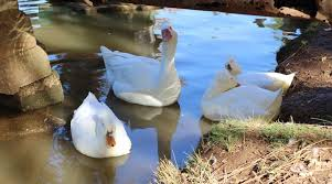 Backyard Wild Birds Are Your Birds Safe From Avian Influenza Anr News Releases