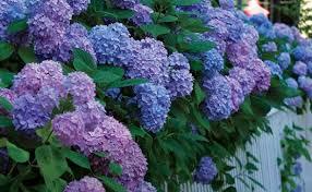Purple Hydrangea Big Flowers From Bigleaf Hydrangeas Fine Gardening