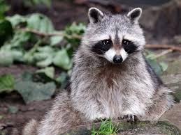 raccoons wellesely ma mass bay wildlife management inc