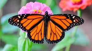 monarch migration secrets of butterfly internal compass
