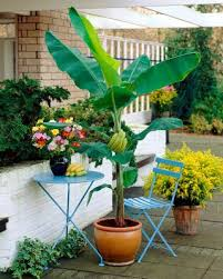 how to grow banana trees growing banana trees in pots