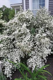 126 best shrubs images on pinterest shrubs flowers and flower