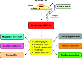 paracrine mechanisms in stem cell signaling and therapy