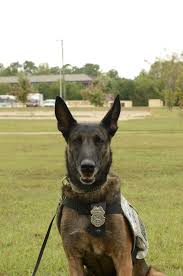 belgian shepherd seattle retirement goes to the dogs article the united states army