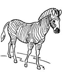 zebra colouring colouring pics