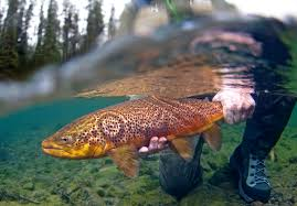 trout photos fish eye guy photography