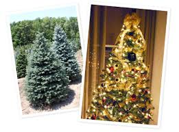 where can i find a brown christmas tree huber landscaping christmas trees tree farm nursery and