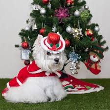 lovely westie in santa claus with tree