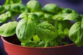 basilico in vaso malattie basilico con foglie gialle cause e soluzioni idee green