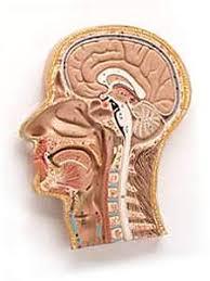 Neck Cross Sectional Anatomy Buyamag Com Head Nerves Arteries Vains Median Section Neck Models