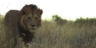 lion warrior national geographic