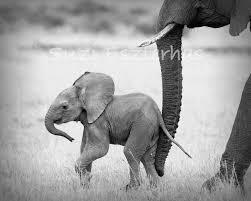 Elephant Nursery Wall Art Fresh by Safari Baby Animals Set Of 4 Black U0026 White Photos Elephant