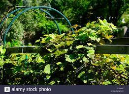 home grown grape vine on backyard trellis stock photo royalty