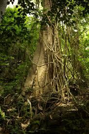 celtic zodiac vine tree sun signs