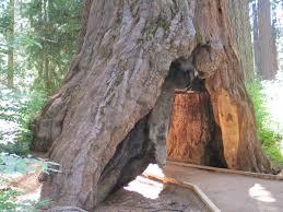 Chandelier Tree Address Pioneer Cabin Tree Wikipedia