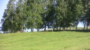 moving away look at the cluster of birch trees taller grass